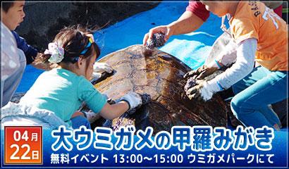 大ウミガメの甲羅みがき