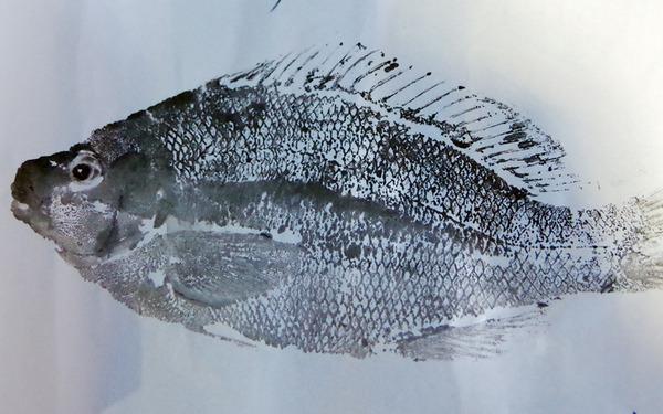 img_gyotaku171.jpg